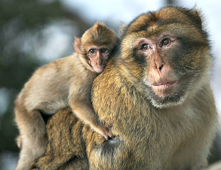 macaque-father-and-son.jpg